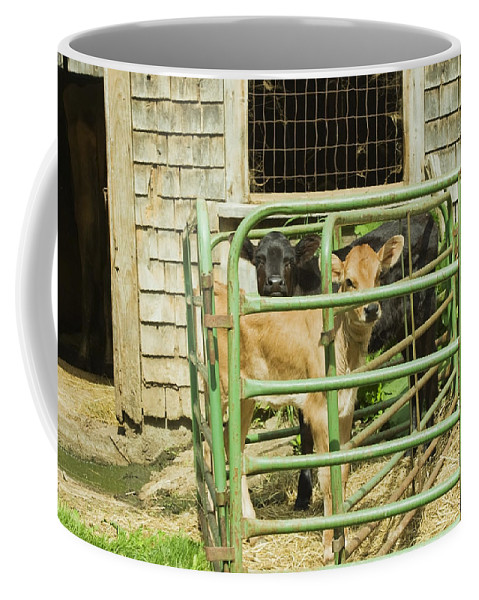 Cow Coffee Mug featuring the photograph Young Calf In Fence Pen Near Barn Summer Maine by Keith Webber Jr
