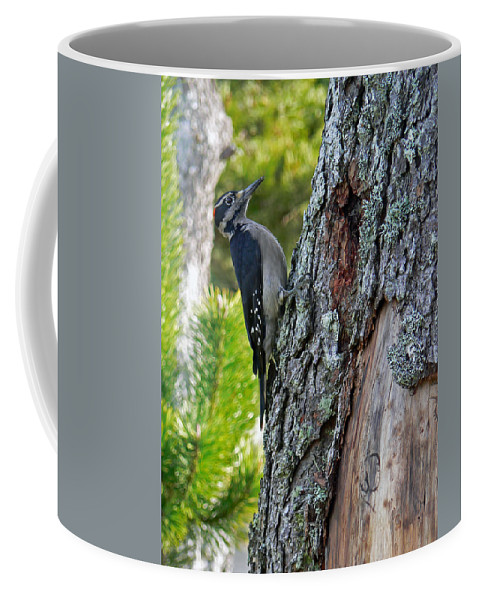 Bird Coffee Mug featuring the photograph Young Woody Makes A Home by Pamela Patch