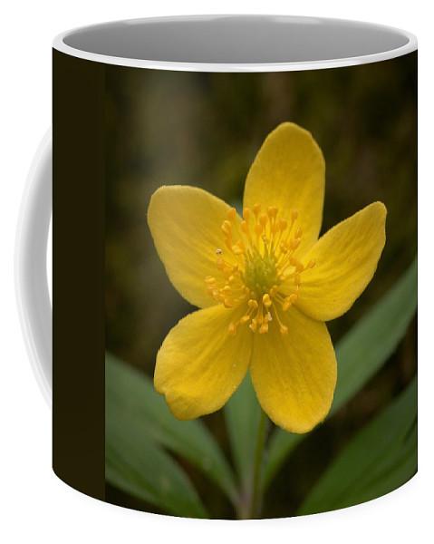 Lehtokukka Coffee Mug featuring the photograph Yellow Wood Anemone by Jouko Lehto