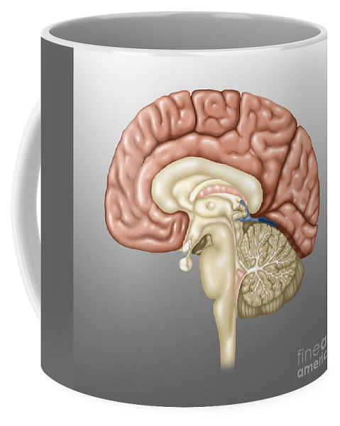 Science Coffee Mug featuring the photograph Anatomy Of The Brain, Illustration by Gwen Shockey