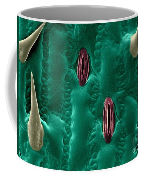 Corn Coffee Mug featuring the photograph Corn Leaf Stomata, Esem by Scimat