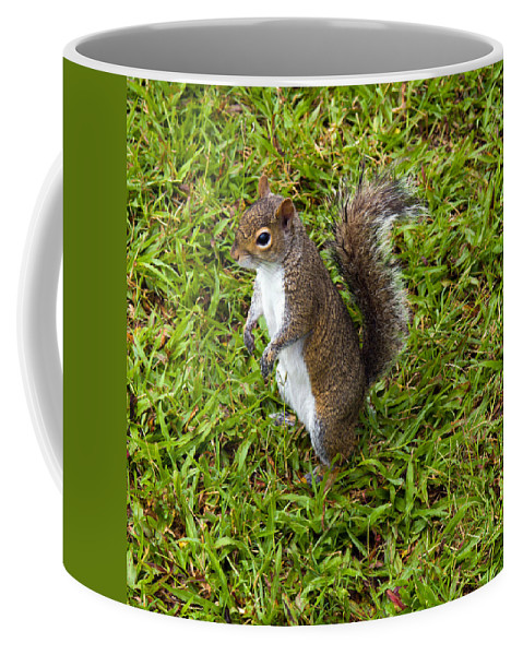 Squirrel; Eastern; Gray; Sciurus; Carolinensis; Swarm; Food; Florida; Eau; Gallie; Melbourne; Park; Coffee Mug featuring the photograph Eastern Gray Squirrel by Allan Hughes