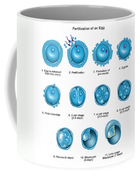 Science Coffee Mug featuring the photograph Egg Fertilization by Gwen Shockey