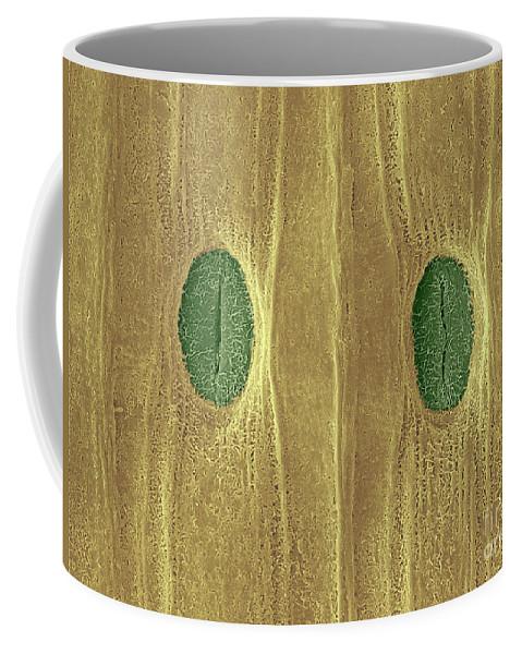 Stoma Coffee Mug featuring the photograph Garlic Leaf Stomata, Esem by Scimat