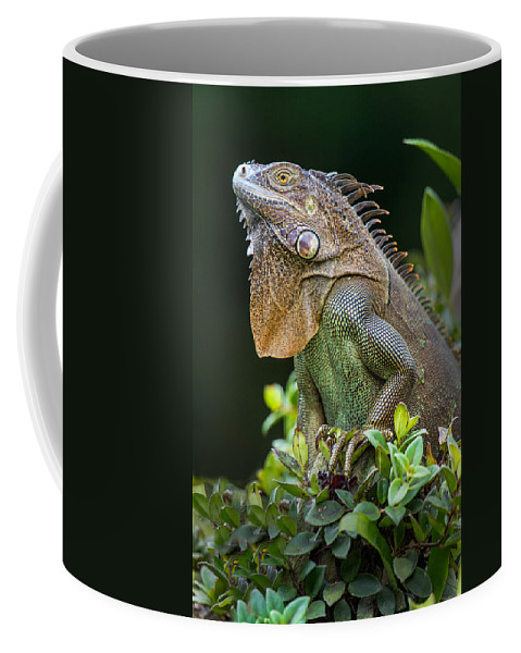 Photography Coffee Mug featuring the photograph Green Iguana Iguana Iguana, Sarapiqui by Panoramic Images