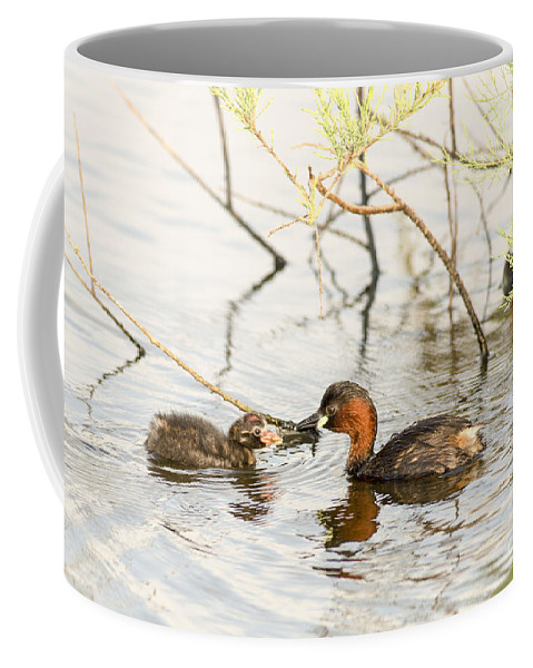 Duckling Coffee Mug featuring the photograph Little Grebe Tachybaptus Ruficollis by Alon Meir