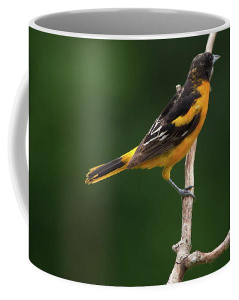Gray Catbird Coffee Mug featuring the photograph Oriole by Linda Kerkau