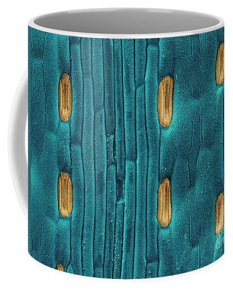 Stoma Coffee Mug featuring the photograph Wheat Leaf Stomata, Sem by Scimat