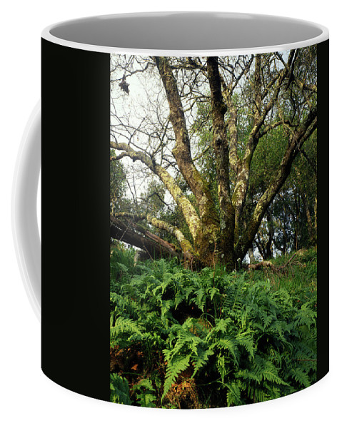 Ferns Coffee Mug featuring the photograph 1b6339 Frens And Oaks On Our Mountain by Ed Cooper Photography