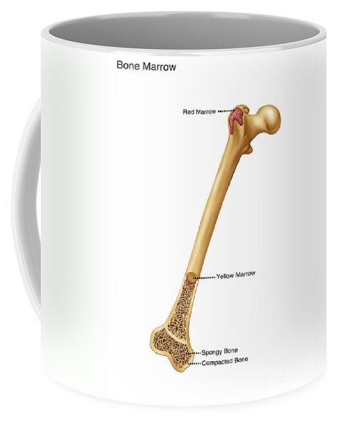 Science Coffee Mug featuring the photograph Bone Marrow And Tissue, Illustration by Gwen Shockey