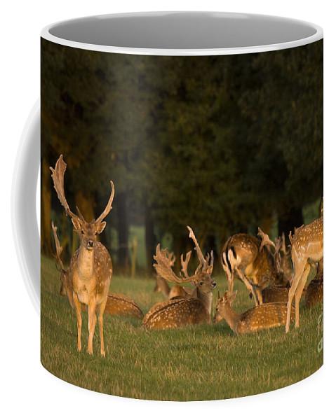 Fallow Deer Coffee Mug featuring the photograph Fallow Deer by Angel Ciesniarska