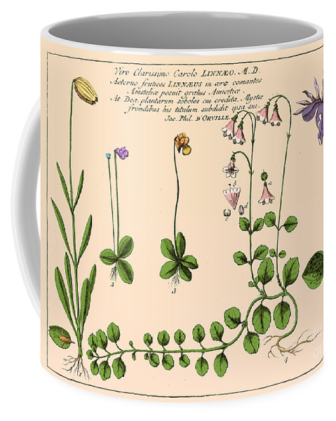 Historic Coffee Mug featuring the photograph Linnaea Borealis, Linnaeuss Favorite by Science Source