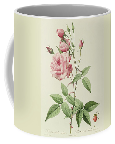 Rosa Coffee Mug featuring the drawing Rosa Indica Vulgaris by Pierre Joseph Redoute