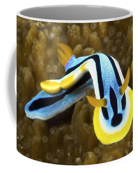 Chromodoris Annae Coffee Mug featuring the photograph Nudibranch Feeding On Algae, Papua New by Terry Moore