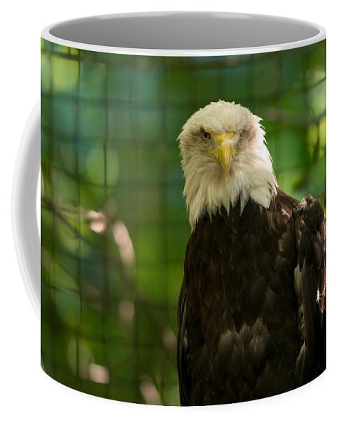 Bald Eagle Coffee Mug featuring the photograph A Bald Eagle At The Lincoln Zoo by Joel Sartore