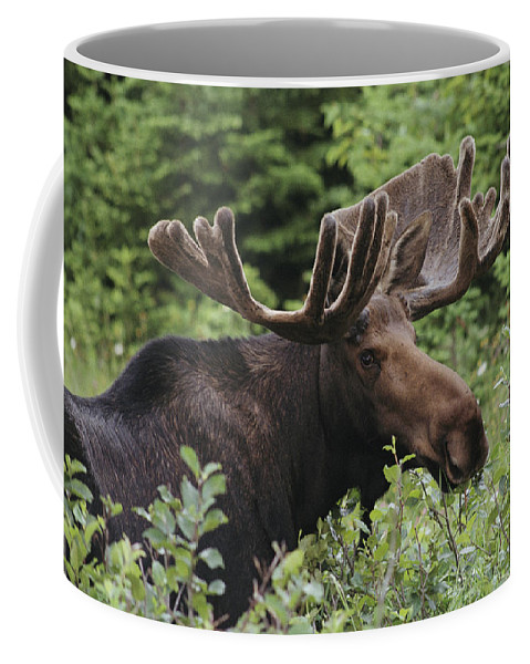 Moose Coffee Mug featuring the photograph A Bull Moose Among Tall Bushes by Michael Melford