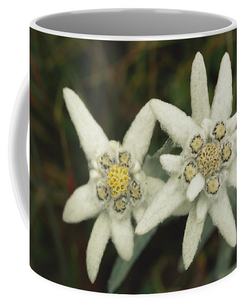 Plants Coffee Mug featuring the photograph A Close View Of An Edelweiss Flower by Norbert Rosing