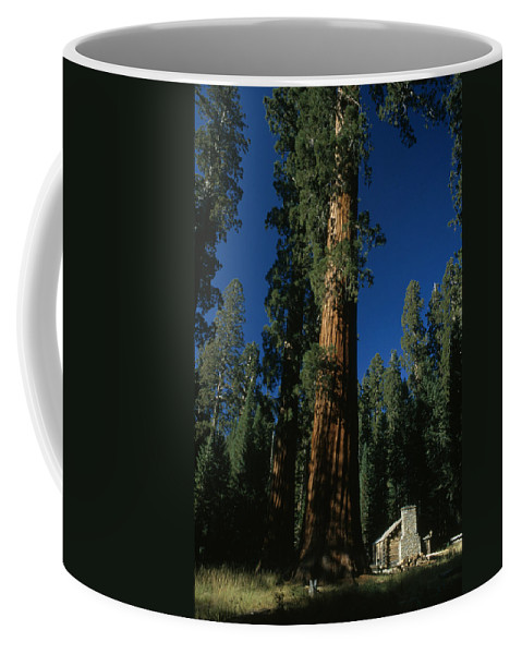 Outdoors Coffee Mug featuring the photograph A Giant Sequoia Tree Towers by Phil Schermeister