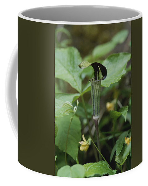 Scenes And Views Coffee Mug featuring the photograph A Jack In The Pulpit Grows In The Mist by Stephen Alvarez
