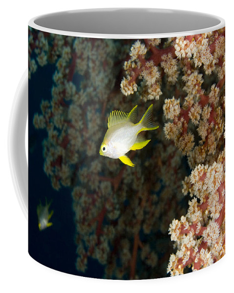 Golden Damsel Fish Coffee Mug featuring the photograph A Juvenile Golden Damsel Fish Shelters by Tim Laman