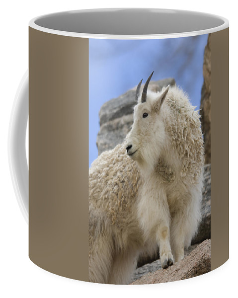 Zoo Coffee Mug featuring the photograph A Mountain Goat Oreamnos Americanus by Joel Sartore