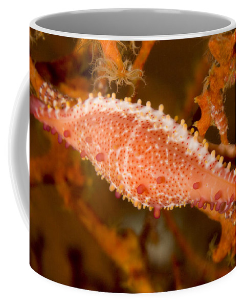 Spindle Cowrie Snails Coffee Mug featuring the photograph A Spindle Cowrie Snailphenacovolva Sp by Tim Laman