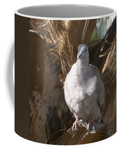 Lehtokukka Coffee Mug featuring the photograph African Collared Dove 3 by Jouko Lehto