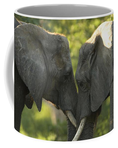 Photography Coffee Mug featuring the photograph African Elephants Loxodonta Africana by Joel Sartore