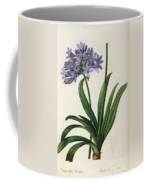Agapanthus Coffee Mug featuring the painting Agapanthus Umbrellatus by Pierre Redoute