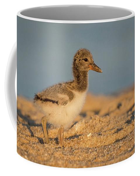 Wildlife Coffee Mug featuring the photograph American Oystercatcher Chick by Joe Gliozzo