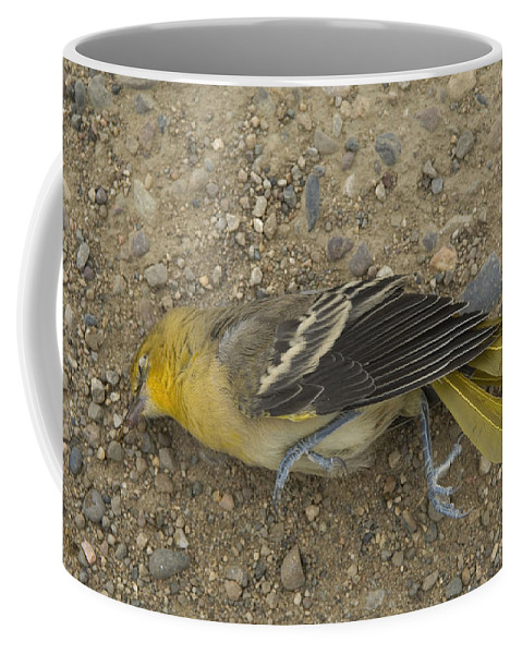 Photography Coffee Mug featuring the photograph An Orchard Oriole On A Gravel Road by Joel Sartore
