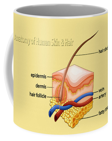 Poster Coffee Mug featuring the digital art Anatomy Of The Skin And Hair by Don Kuing