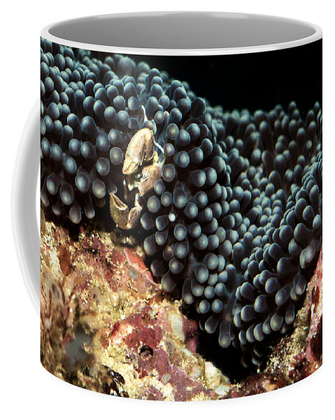 Anemone Coffee Mug featuring the photograph Anemone Crab by Mumbles and Grumbles