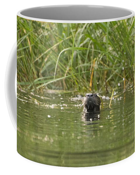 Beaver Coffee Mug featuring the photograph Angry Otter by Jan Mulherin