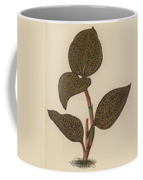 Orchid Coffee Mug featuring the painting Anoectochilus Setaceus, Aurea by English School