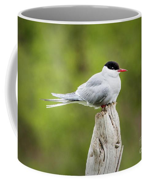 Tern Coffee Mug featuring the photograph Arctic Tern by Edie Ann Mendenhall