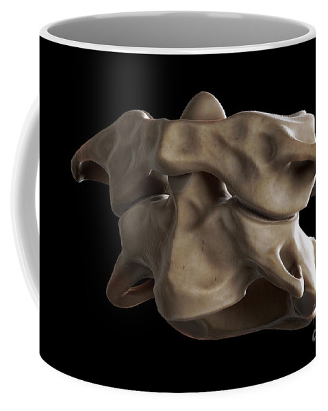 Digitally Generated Image Coffee Mug featuring the photograph Atlas And Axis Vertebrae by Science Picture Co