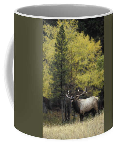 Autumn Coffee Mug featuring the photograph Autumn Bull Elk Bugling by Gary Langley