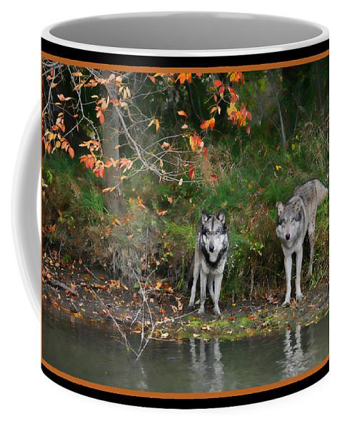 Wolf Wolves Canid Canus Lupis Animal Wildlife Mammal Mates Photograph Photography Autumn Fall Orange Water Pond Coffee Mug featuring the photograph Autumn Wolf Study by Shari Jardina