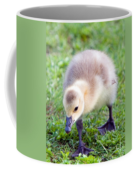 Canada Goose Coffee Mug featuring the photograph Baby Canada Goose by Randall Ingalls