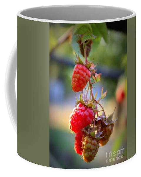 Food And Beverage Coffee Mug featuring the photograph Backyard Garden Series - The Freshest Raspberries by Carol Groenen