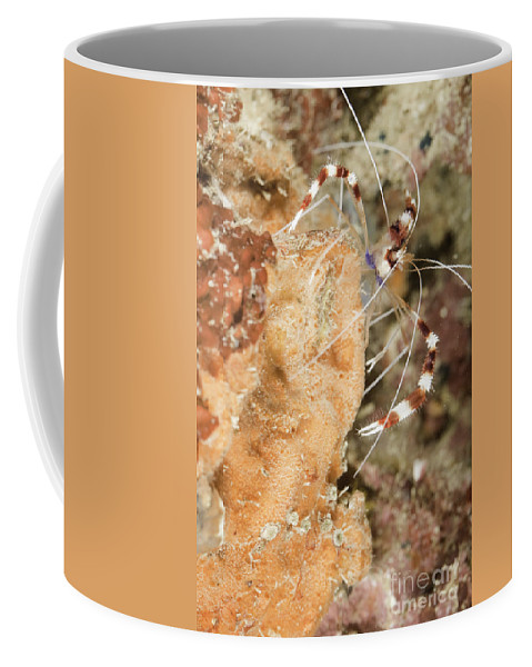 Banded Coral Shrimp Coffee Mug featuring the photograph Banded Coral Shrimp by Anthony Totah