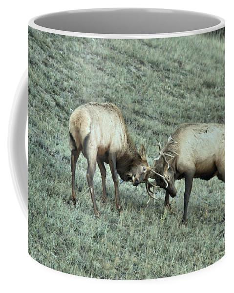 Elk Fighting Coffee Mug featuring the photograph Battling Elk by Adam Jewell