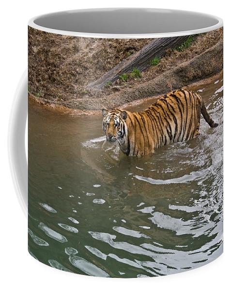 Bengal Coffee Mug featuring the photograph Bengal Tiger Wading Stream by Douglas Barnett