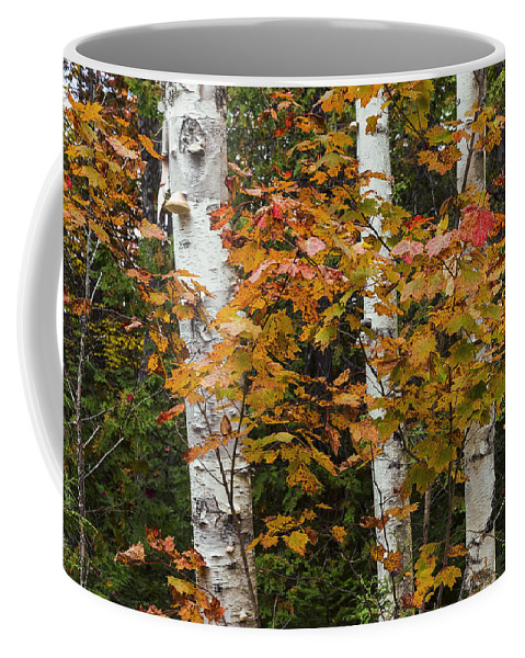Birch Coffee Mug featuring the photograph Birches In Fall by Janet Ballard