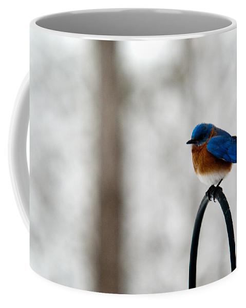 Bluebird Coffee Mug featuring the photograph Bluebird Fluffed by Douglas Barnett