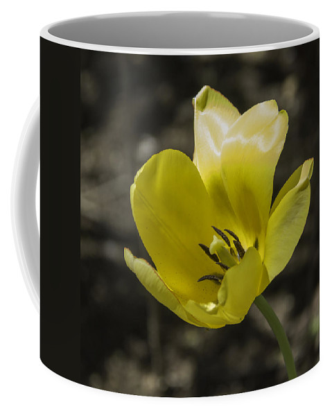 Flowers Coffee Mug featuring the photograph Bright Yellow Tulip Squared by Teresa Mucha