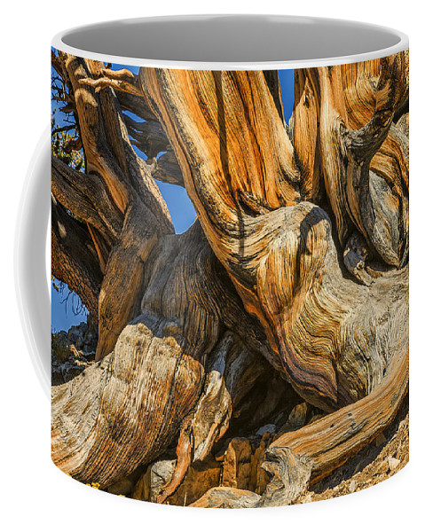 Bristle Cone Coffee Mug featuring the photograph Bristle Cone Pine Tree White Mtns Ca Color Img 6799 by Greg Kluempers
