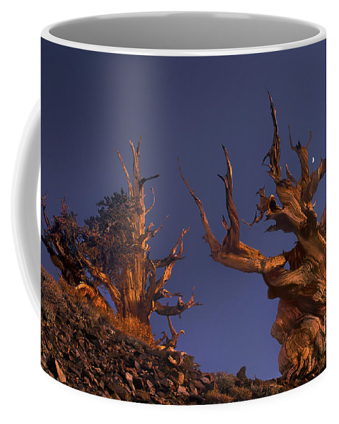 Bristlecone Pine Coffee Mug featuring the photograph Bristlecone Pines At Sunset With A Rising Moon by Dave Welling
