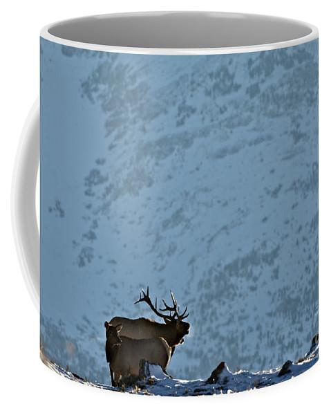 Elk Coffee Mug featuring the photograph Bugling Bull Elk, Alberta Canada by Daryl L Hunter